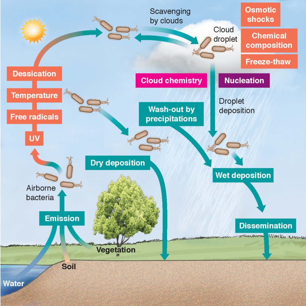 Conceptual life cycle of bacteria in the atmosphere